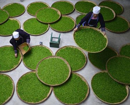 عکسهای جذاب,تصاویر جالب,تولید چای