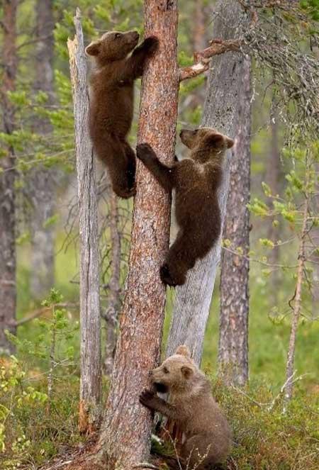 عکسهای جالب,تصاویر جالب,خرس های اوراسیایی