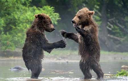 عکسهای جالب,دعوای خرس ها ,تصاویر جالب